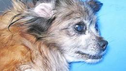 Tumor de sticker en perros